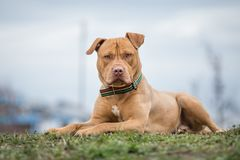 Yellow Pit Bull terrier dog lying on grass stock image