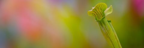 The yellow pitcher plant, Sarracenia flava. Close up of carnivorous plant with copy space. royalty free stock photos