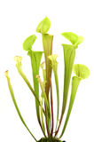Yellow pitcher plant Stock Images