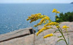Yellow plant in Acadia National Park, Maine. With ocean and rock background royalty free stock photography