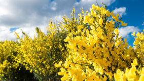 Yellow plant with blue sky background Stock Image