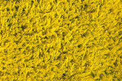 Yellow plants as background Royalty Free Stock Images