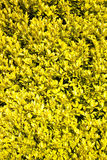 Yellow plants as background Royalty Free Stock Image