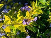 Yellow plants full of lilac flowers, and a bee trying to get the honey. The nature is beautiful royalty free stock image