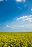 Yellow Plants with sky Royalty Free Stock Images