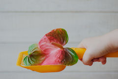 Yellow plastic scoop for cat litter cleaning whith the anthurium flower - nice scent and no smell concept. Royalty Free Stock Photos