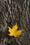 Yellow platanus leaf on tree bark Royalty Free Stock Photo