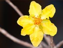 Yellow plum blossom Royalty Free Stock Photos
