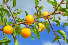 Yellow plum fruits Royalty Free Stock Images