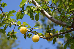 Yellow plum tree royalty free stock images