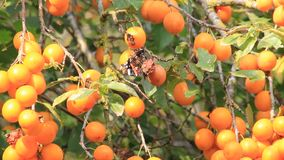 yellow plum on tree, food for butterflies stock video footage