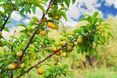 Yellow plum tree with fruits growing in the garden. Stock Image