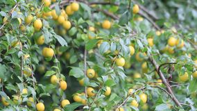 Yellow plum tree with ripe fruits stock video