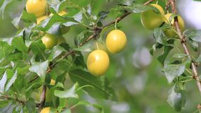 Yellow plum tree with ripe fruits stock video footage