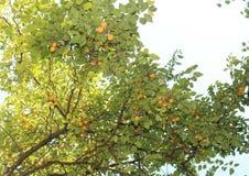 Yellow plum Stock Photo