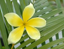 Yellow  plumeria Stock Photos