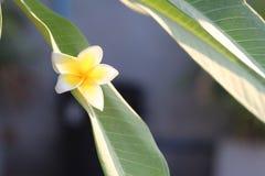 Yellow Plumeria bloom single. Lonely Plumeria bloom at Pattaya Thailand Royalty Free Stock Photo