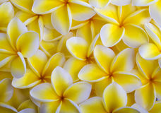 Yellow plumeria blossoms Royalty Free Stock Images