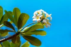 Yellow plumeria flower Stock Photo