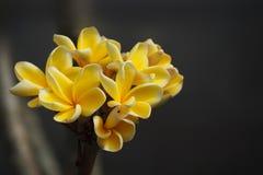 Yellow plumeria flower Stock Photography