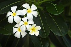 Yellow plumeria flower. Blanch of yellow plumeria flower royalty free stock photo