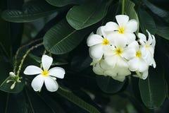Yellow plumeria flower. Blanch of yellow plumeria flower royalty free stock photos