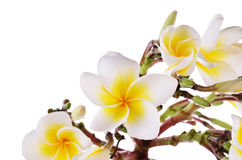 Yellow Plumeria flower  isolated on a white background Royalty Free Stock Photos