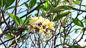 Yellow plumeria flower on the tree. Tropical garden on Bali island, Indonesia. stock video footage