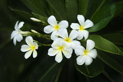 Yellow plumeria  flower Royalty Free Stock Photography