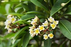 Yellow plumeria  flower Stock Images