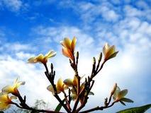 Yellow plumeria flowers. royalty free stock photography