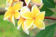 Yellow plumeria flowers Royalty Free Stock Images