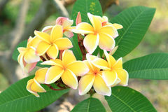 Yellow plumeria flowers Royalty Free Stock Photography