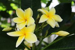 Yellow Plumeria flowers on a dark green background of leaves. Soft yellow tropical hawaiian flower used for making leis. Open frangipani flowers and buds growing stock photography