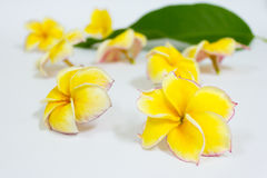 Yellow plumeria flowers, Yellow frangipani tropical flowers Royalty Free Stock Images