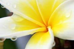 Yellow Plumeria rubra. Frangipani, Apocynaceae, South America, white petals with yellow center royalty free stock photos