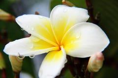 Yellow Plumeria rubra Stock Photos