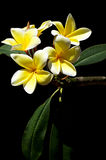 Yellow plumeria spa flowers in bloom Royalty Free Stock Photos
