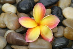 Yellow plumeria and stones. Yellow plumeria in a spa Stock Images