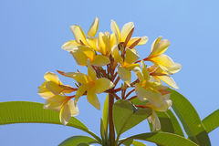 Yellow Plumerias Stock Photo