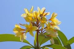 Yellow Plumerias Stock Photo