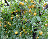 Yellow Plums background Royalty Free Stock Photos