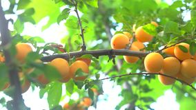 Yellow plums on branch. stock video footage