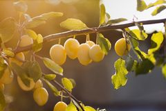 Yellow plums on branch in orchard stock photography