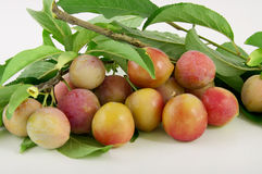 Yellow plums on branch with verdigris Stock Photos