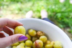 Yellow plums. stock photo