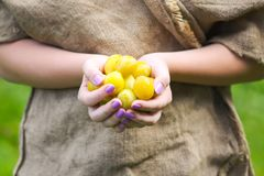 Yellow plums. Fresh ripe sweet fruits. In a hands royalty free stock image