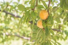 Close-up of yellow plums in orchard on bright summer day royalty free stock photos