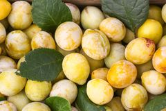 Yellow plums with green leaves. Fresh ripe fruits royalty free stock image