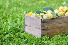 Yellow plums with green leaves. Fresh ripe fruits in wooden box on green grass. In summer garden stock photos
